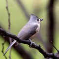 Tufted Titmouse with a few drops of rain