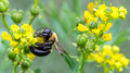 Carpenter Bee on yellow blooms
