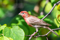 Male House Finch sporting some vivid reds