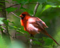 Male Northern Cardinal - difficult light
