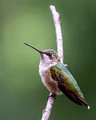Our resident hummer strikes a pose