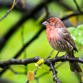 Male House Finch - raining