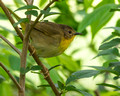 Female Common Yellowthroat - right side