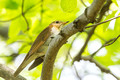 Hermit Thrush - high up