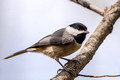 Carolina Chickadee - nice pose
