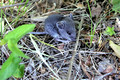 Deer Mouse - moved outdoors