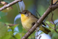 Common Yellowthroat - female - from below