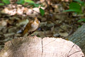 Hermit Thrush on a log