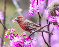 Male House Finch with Redbud bloom