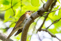 Veery on a high branch