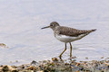 Solitary Sandpiper - Links Pond
