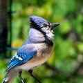 Blue Jay through double pane glass