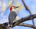 Male Red-bellied Woodpecker on a high branch