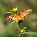 Variegated Fritillary with yellow wildflower