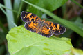 Pearl Crescent on Poison Ivy