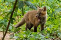 Red Fox Kits - 2012