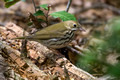 Another Ovenbird