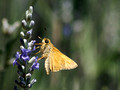 Another Skipper variety on Lavender