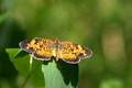Pearl Crescent on foliage