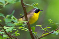 Common Yellow-throat - male