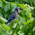 Blue Jay in a Maple tree