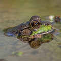 Green Frog with fly and reflection
