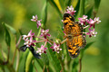 Pearl Crescent & friend on Swamp Milkweed