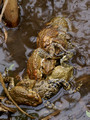 Eastern American Toad orgy - Links Pond