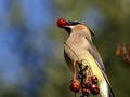 Cedar Waxwing with berry