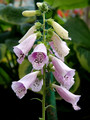 Foxglove at Wake Robin