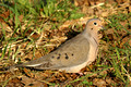 Mourning Dove - early AM