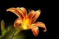 Orange Lilly - dark background