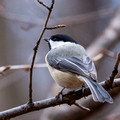 Carolina Chickadee in the woods