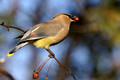 Cedar Waxwing - with tip coloring