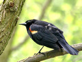 Male Red-winged Blackbird on branch