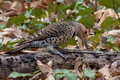 Northern Flicker - female - crouched