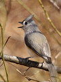 Tufted Titmouse calling