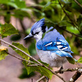 Blue Jay in Holly