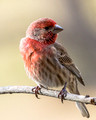 Male House Finch - eye level