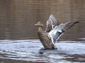 Female Mallard bathing