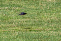 Barn Swallow - 16th fairway