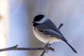 Carolina Chickadee on a thin branch