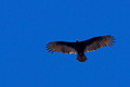 Turkey Vulture catching the updraft
