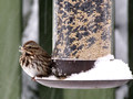 Song Sparrow at feeder