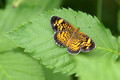 Pearl Crescent on briar leaf