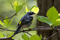Yellow-rumped Warbler in the shade