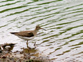 Solitary Sandpiper - find the missing leg