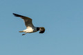 Laughing Gull flyby