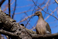 Mourning Dove in Pine