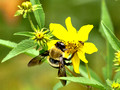 Carpenter Bee - Xylocopa virginica - on yellow wildflower